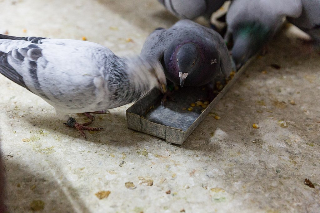 Of resolute pigeons and other anecdotes